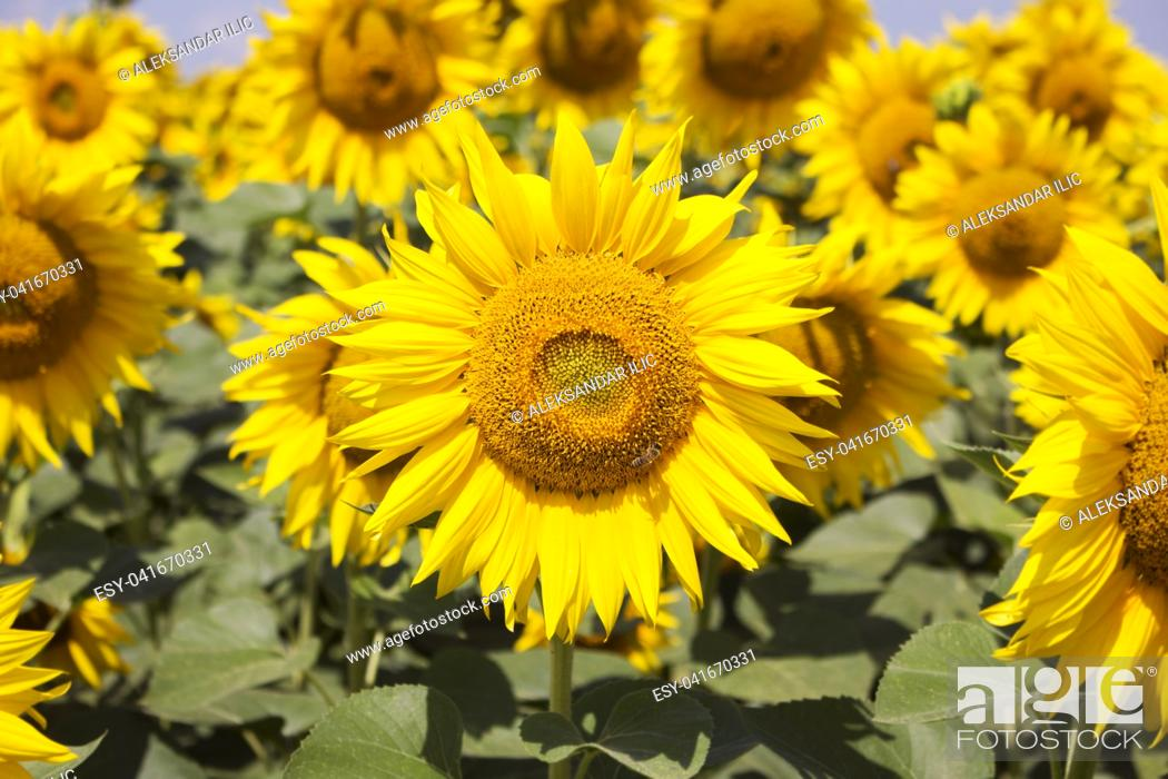 Stock Photo: Sunflower Closeup in the Field With Blue Sky and Fluffy Clouds In Background.