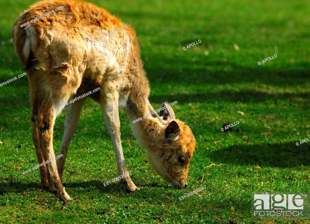 Stock Photo: Browsing young Fallow Deer Dama dama.