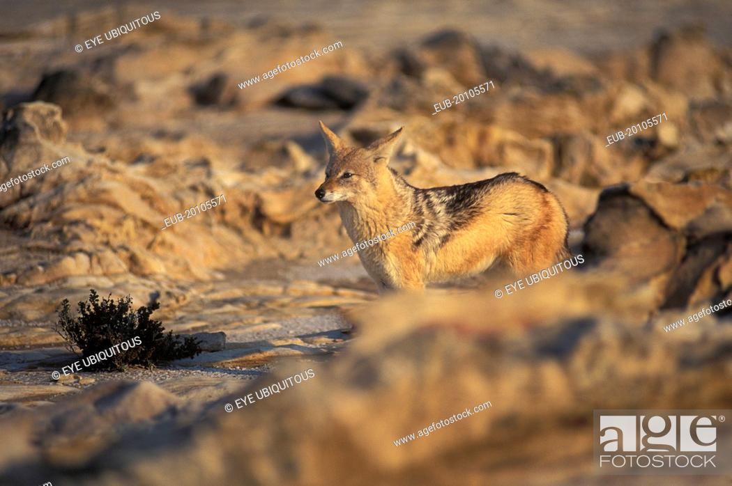 Stock Photo: Jackal in the Namib Diamond region Skeleton Coast Namibia. This region is off limts due to Diamond mining activiety by De Beers consequently Jackals have no.