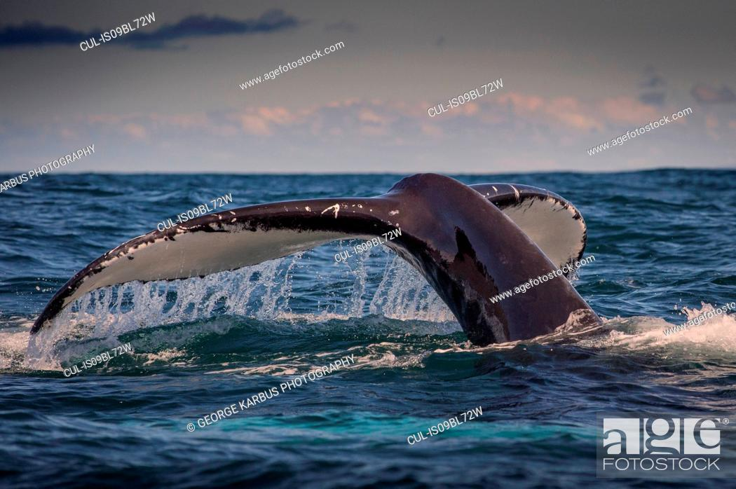 Stock Photo: Humpback whale's tail above water surface, Dingle, Kerry, Ireland.