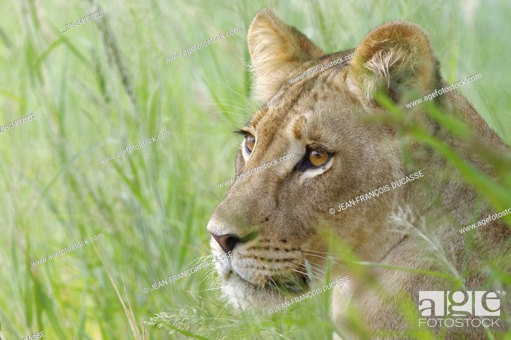 Stock Photo: Lioness (Panthera leo), adult female, standing in high grass, alert, Kgalagadi Transfrontier Park, Northern Cape, South Africa, Africa.