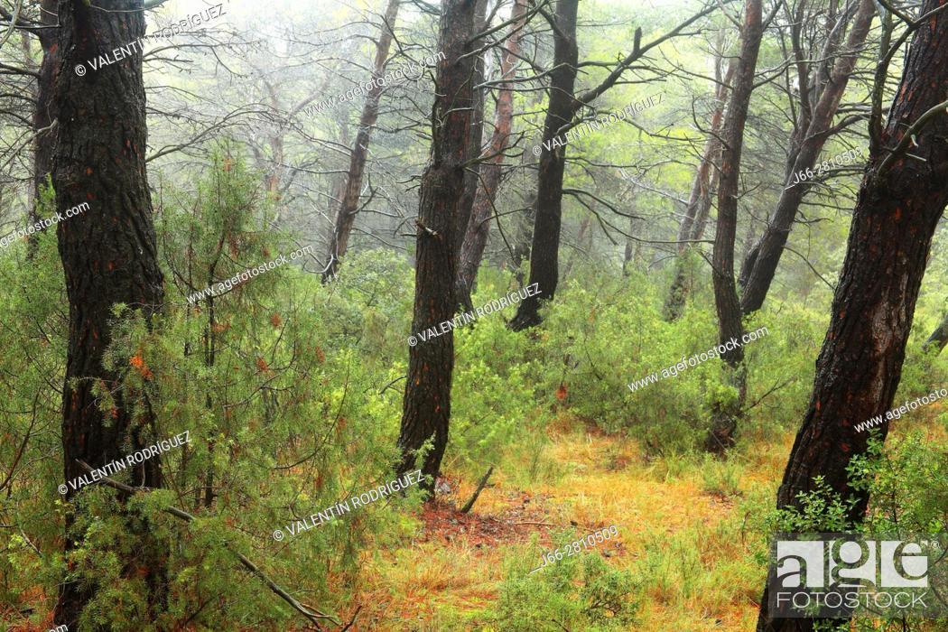 Imagen: Pine forest after rain in Titaguas. Los Serranos region. Valencia.