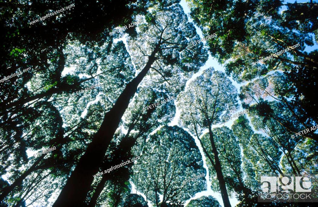 Stock Photo: Camphor Laurel (Cinnamonum camphora). Kuala Lumpur, Malaysia.