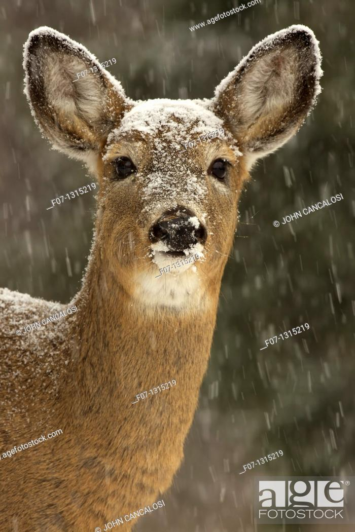 Stock Photo: White-tailed deer (Odocoileus virginianus), doe, New York, USA.