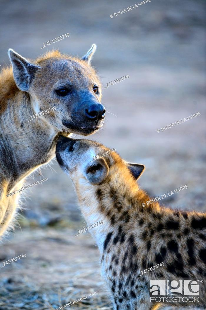 Imagen: Spotted hyena (Crocuta crocuta), or laughing hyena adult and juvenile. Mashatu Game Reserve. Northern Tuli Game Reserve. Botswana.