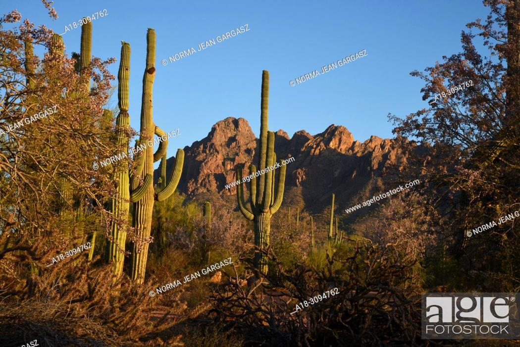 Stock Photo: Ironwood trees bloom as saguaro cactus bud prior to blooming, Silverbell Mountains, Ragged Top Peak, Ironwood Forest National Monument, Sonoran Desert.