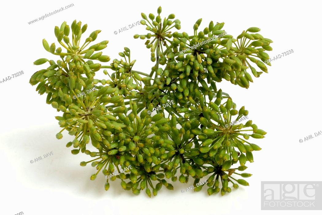Spices , Fresh Fennel, Foeniculum vulgare saunf (hindi), Stock Photo
