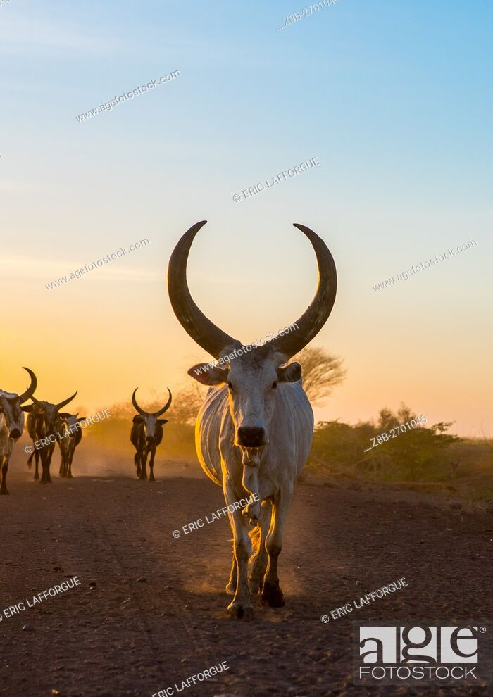 Stock Photo: Ethiopia, Afar Region, Afambo, herd of cows on a dusty track in the sunset.
