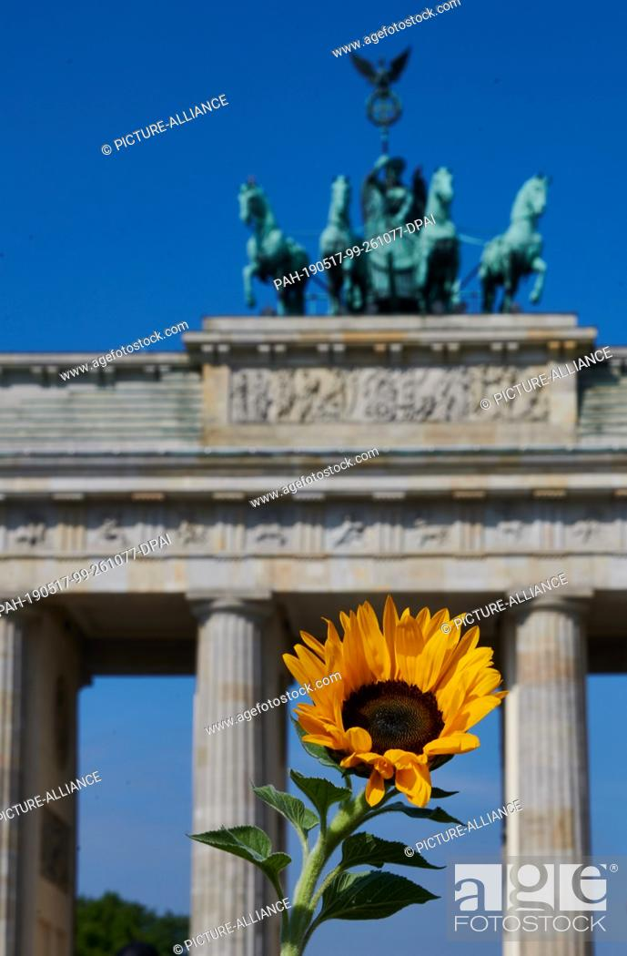 """Stock Photo: 17 May 2019, Berlin: A sunflower stands in the sun in front of the Brandenburg Gate. The German Farmers Association has called for an action day """"""""We make the."""