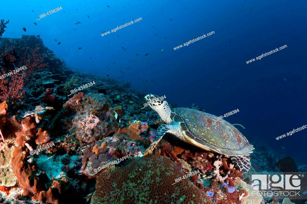 Stock Photo: Hawksbill sea turtle (Eretmochelys imbricata), Nusa Lembongan, Nusa Penida, Bali, Indonesia.