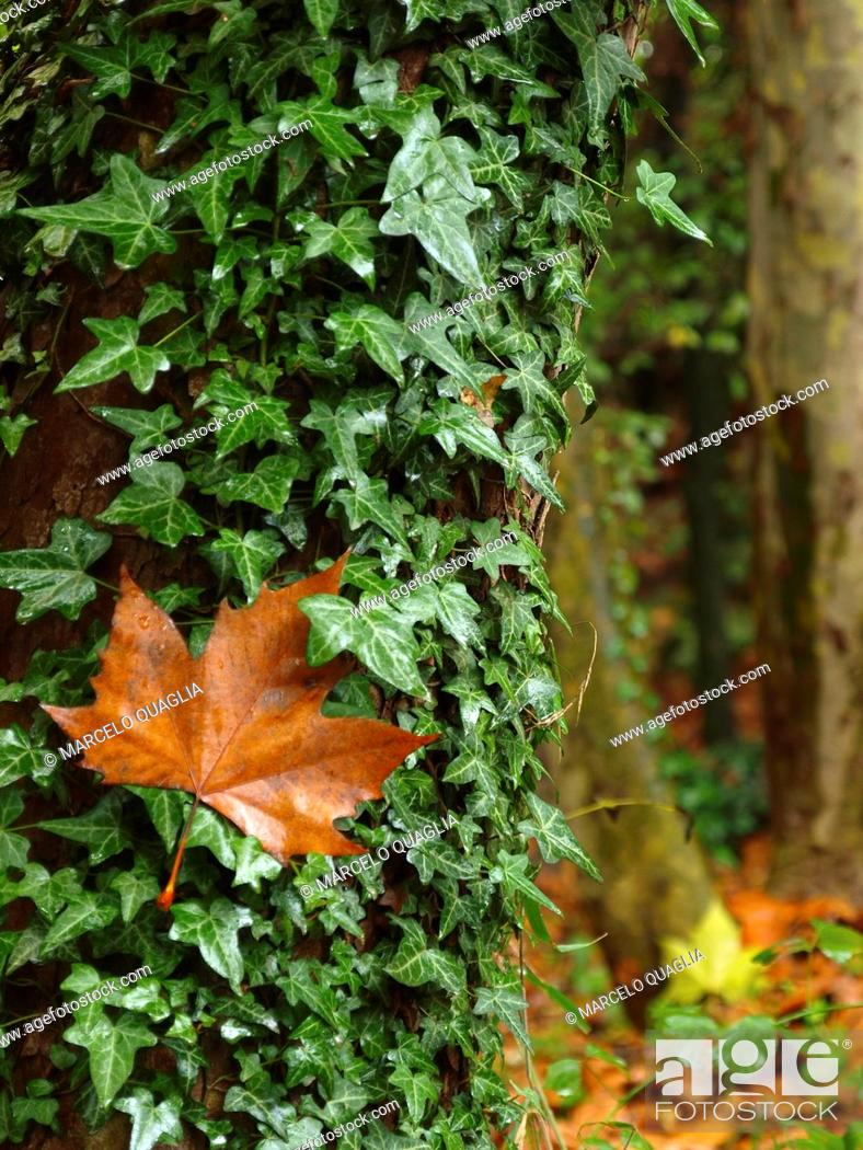 Stock Photo: Ivy (Hedera helix) and plane tree leaf. Rainy autumn Campins village countryside. Montseny Natural Park. Barcelona province, Catalonia, Spain.