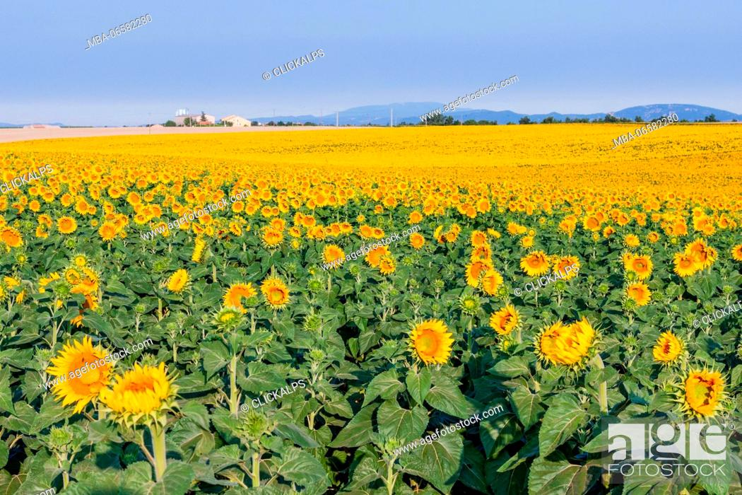 Stock Photo: France, Provence Alps Cote d'Azur, Haute Provence, Plateau of Valensole, sunflowers.