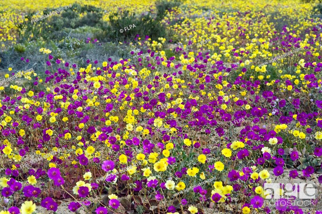Stock Photo: Pata de Guanaco Cistanthe longiscapa and Cistanthe litoralis mixed group, flowering in desert, Atacama Desert, Chile.