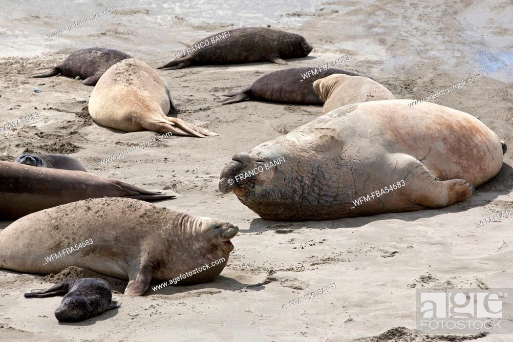 Imagen: Southern Elephant Seal, Mirounga leonina, Valdes Peninsula, Patagonia, Argentina.