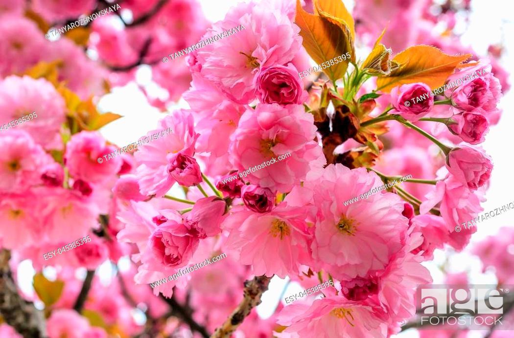Imagen: Sakura flowers on a tree. Spring is in full bloom.