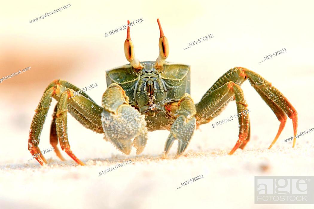 Stock Photo: Horned Ghost crab (Ocypode ceratopthalmus).Seychellen, Bird Island.