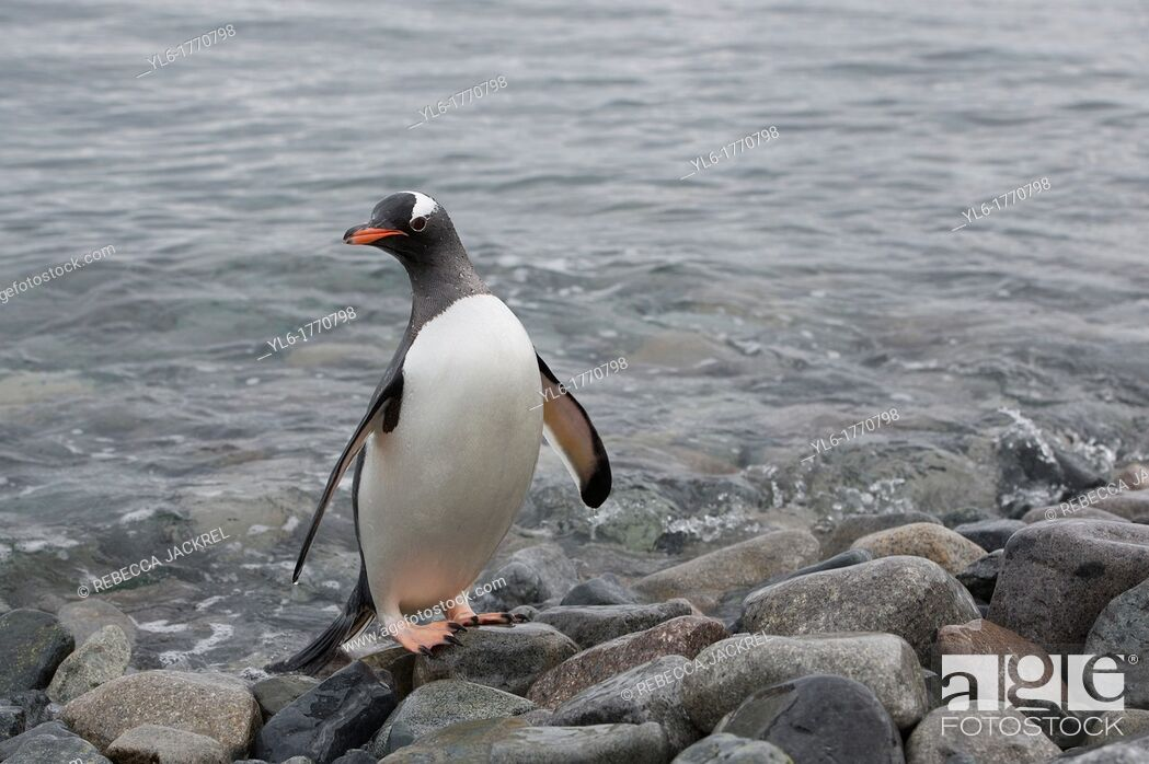 Stock Photo: A gentoo penguin Pygoscelis papua leaves the ocean to walk on Cuverville Island, Antarctic Peninsula.