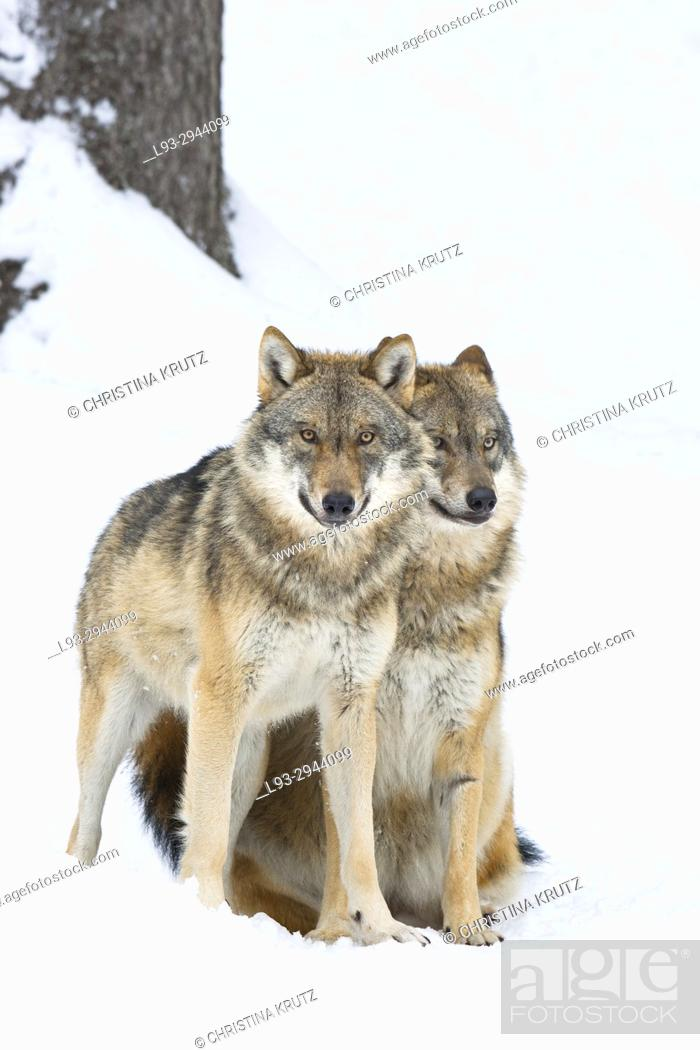 Stock Photo: Two wolves (Canis lupus), Bavarian Forest National Park, Germany.
