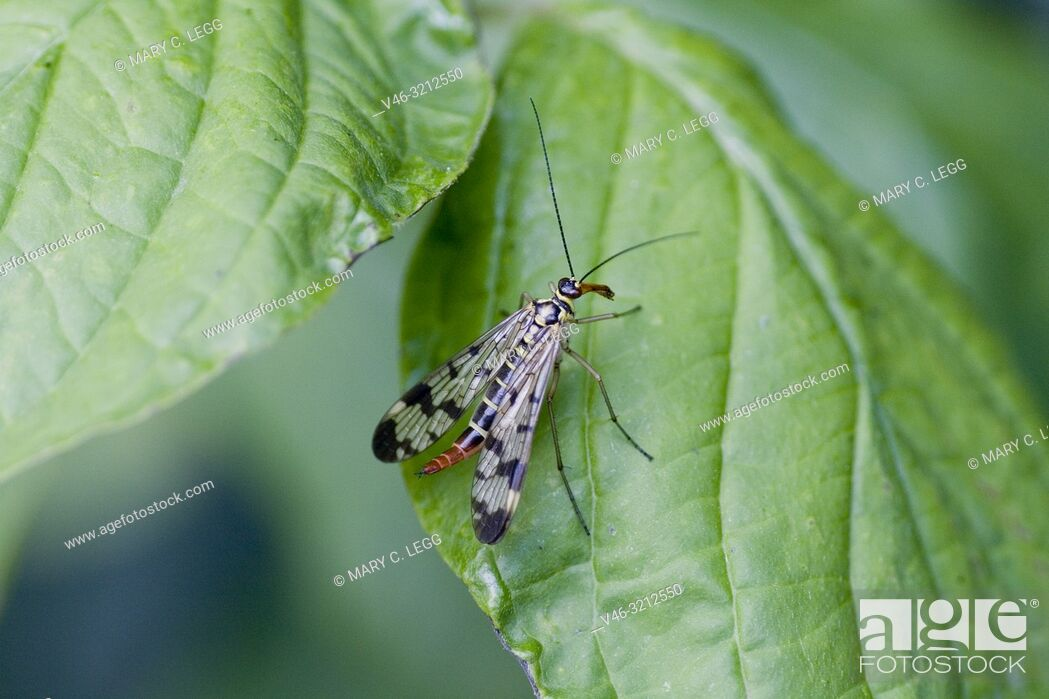 Stock Photo: Scorpion Fly, Panorpa communis, European common scorpionfly found in hedgerows and nettle patches. Length 30mm with wingspan 25mm.