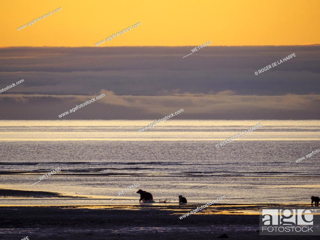 Stock Photo: Coastal brown bear, also known as Grizzly Bear (Ursus Arctos). Cook Inlet. South Central Alaska. United States of America (USA).