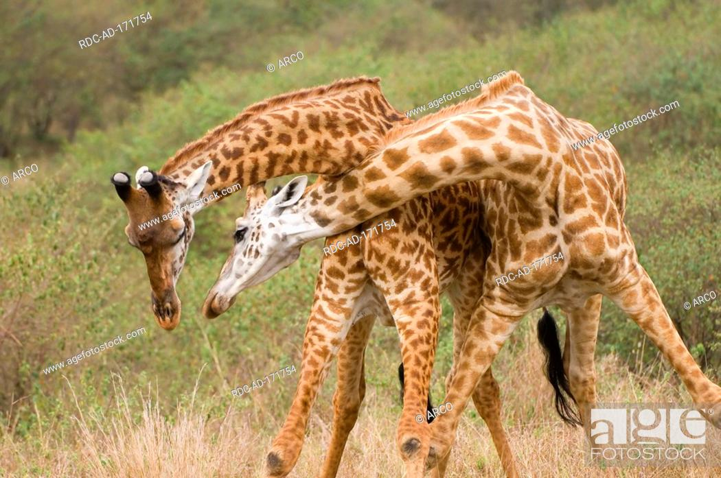 Stock Photo: Masai Giraffes, Masai Mara game reserve, Kenya, Giraffa camelopardalis tippelskirchii.