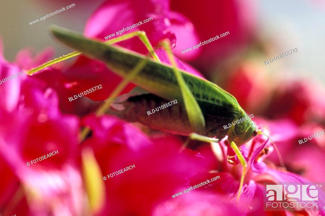 Stock Photo: Grasshopper on a pink flower.