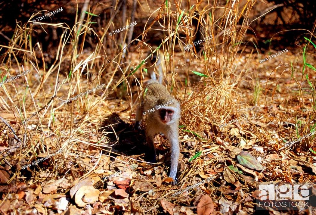 Stock Photo: Young vervet monkey striding among fallen dead leaves in Zimbabwe.