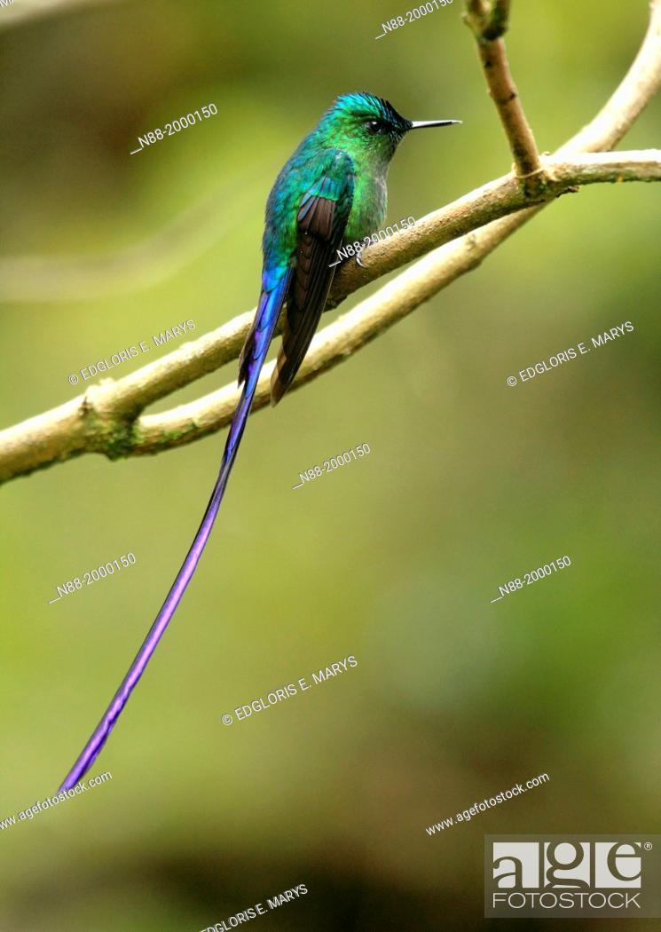 Stock Photo: Long-tailed Sylph hummingbird San Eusebio Cloud Forest Venezuela.