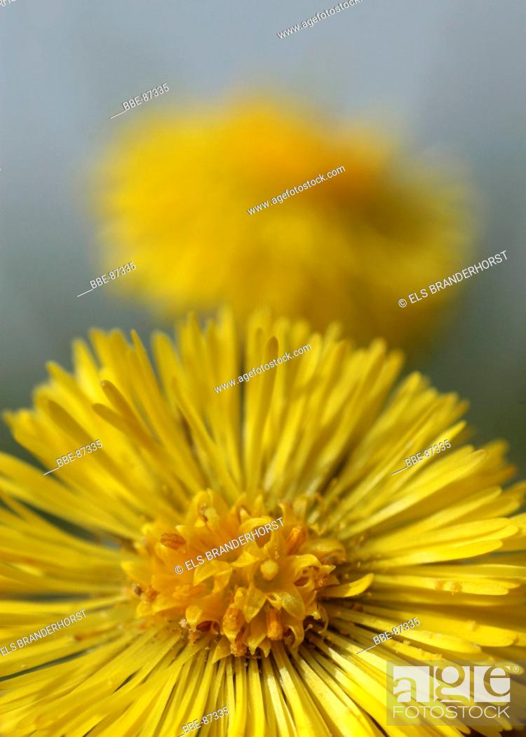Yellow flowers of coltsfoot a plant of early spring stock photo stock photo yellow flowers of coltsfoot a plant of early spring mightylinksfo