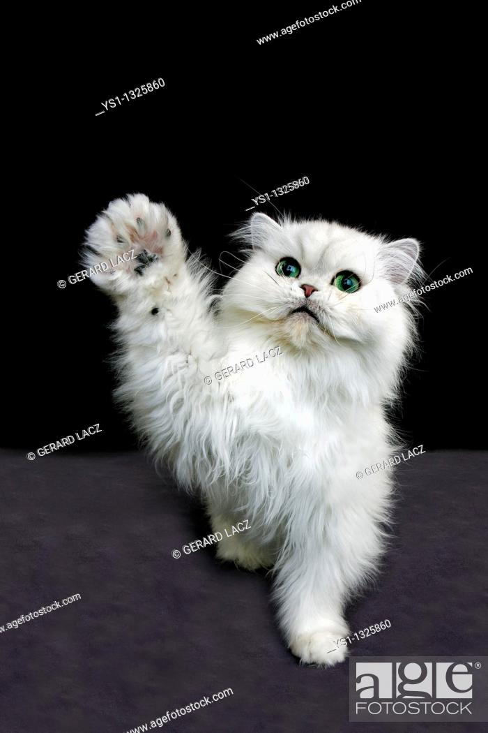 Stock Photo: CHINCHILLA PERSIAN CAT, ADULT WITH GREEN EYES HOLDING UP IT'S PAW.