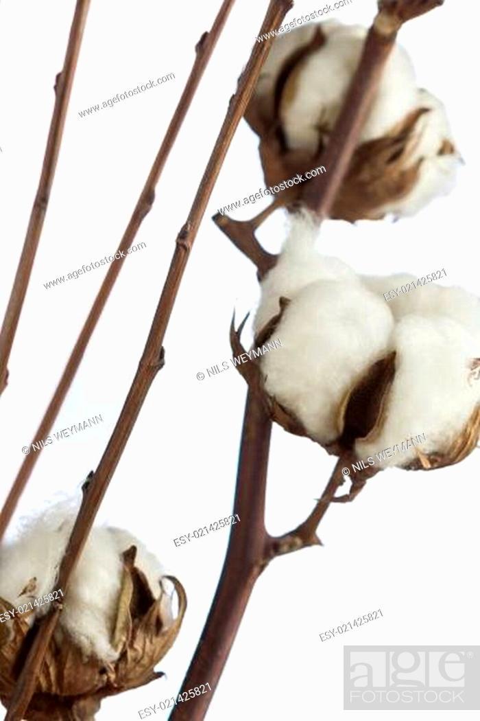 Imagen: Frische weiße knospen aus Baumwolle am Zweig.