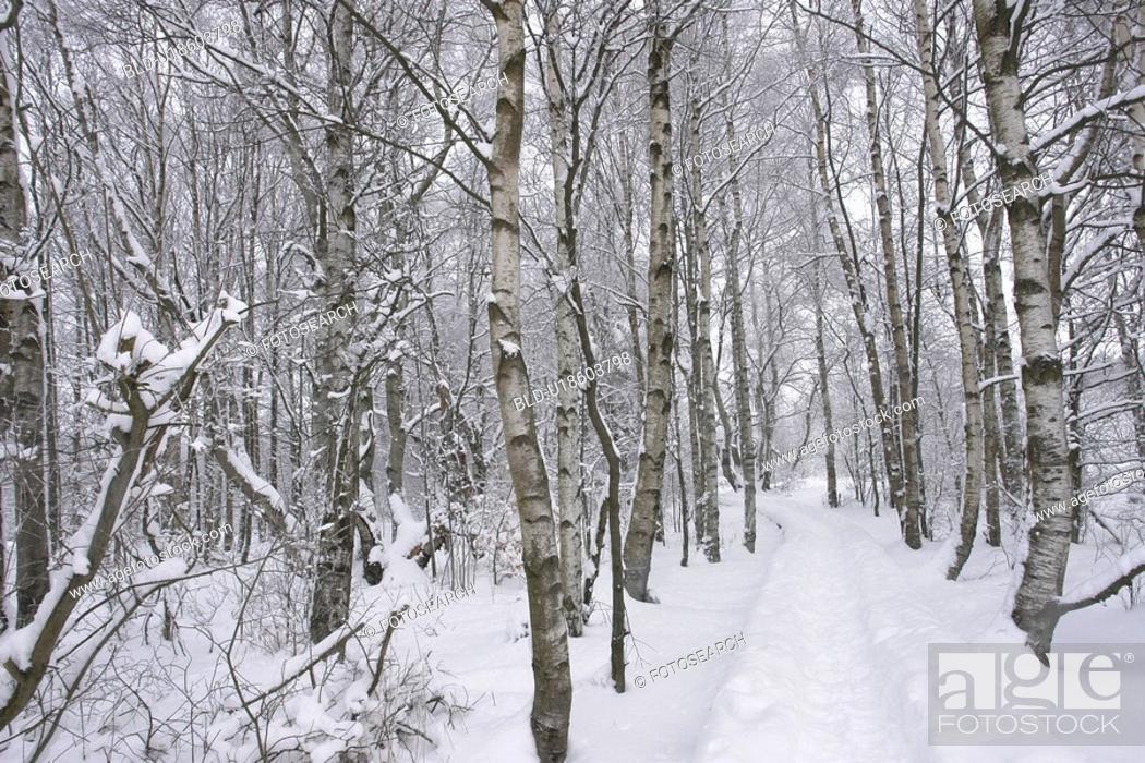 Stock Photo: moor, birchs, FRG/Bavaria, FRG, forest, rhoen, away.