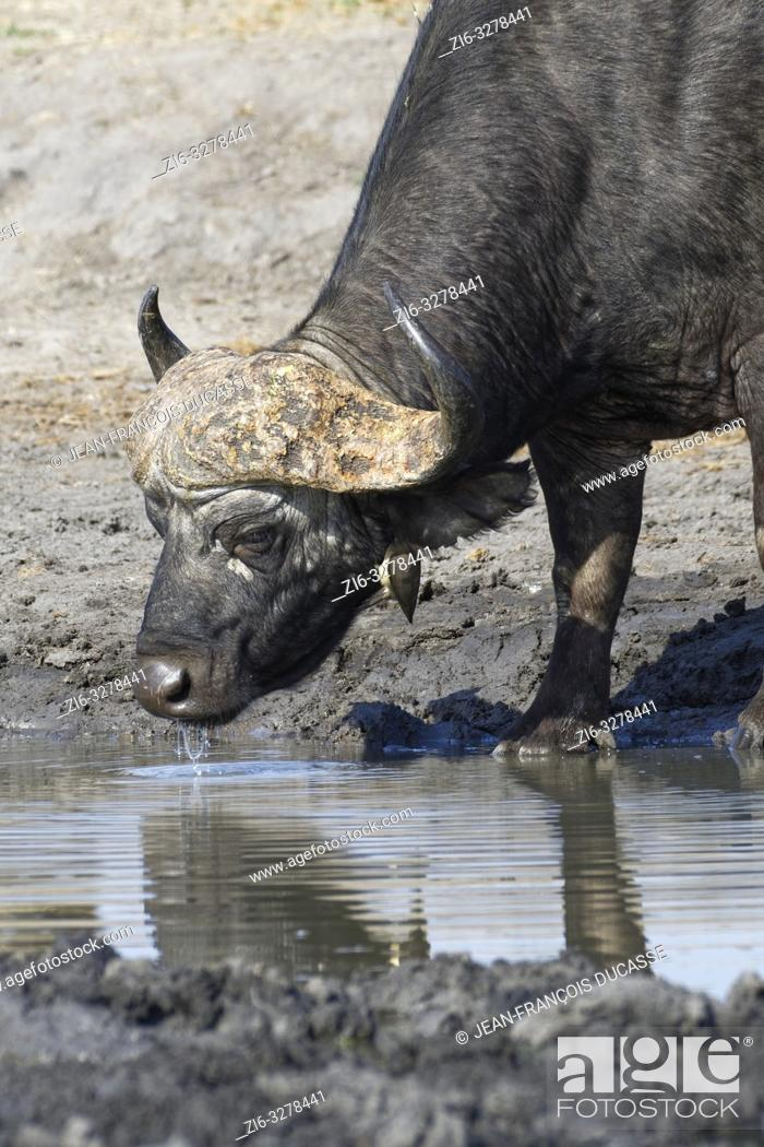 Stock Photo: African buffalo (Syncerus caffer), adult male drinking at a waterhole with a red-billed oxpecker (Buphagus erythrorhynchus) hanging on the neck.