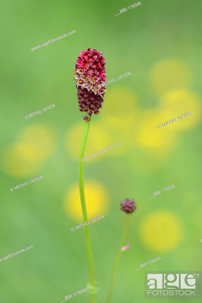 Stock Photo: Flowering Great burnet on alpine meadow.
