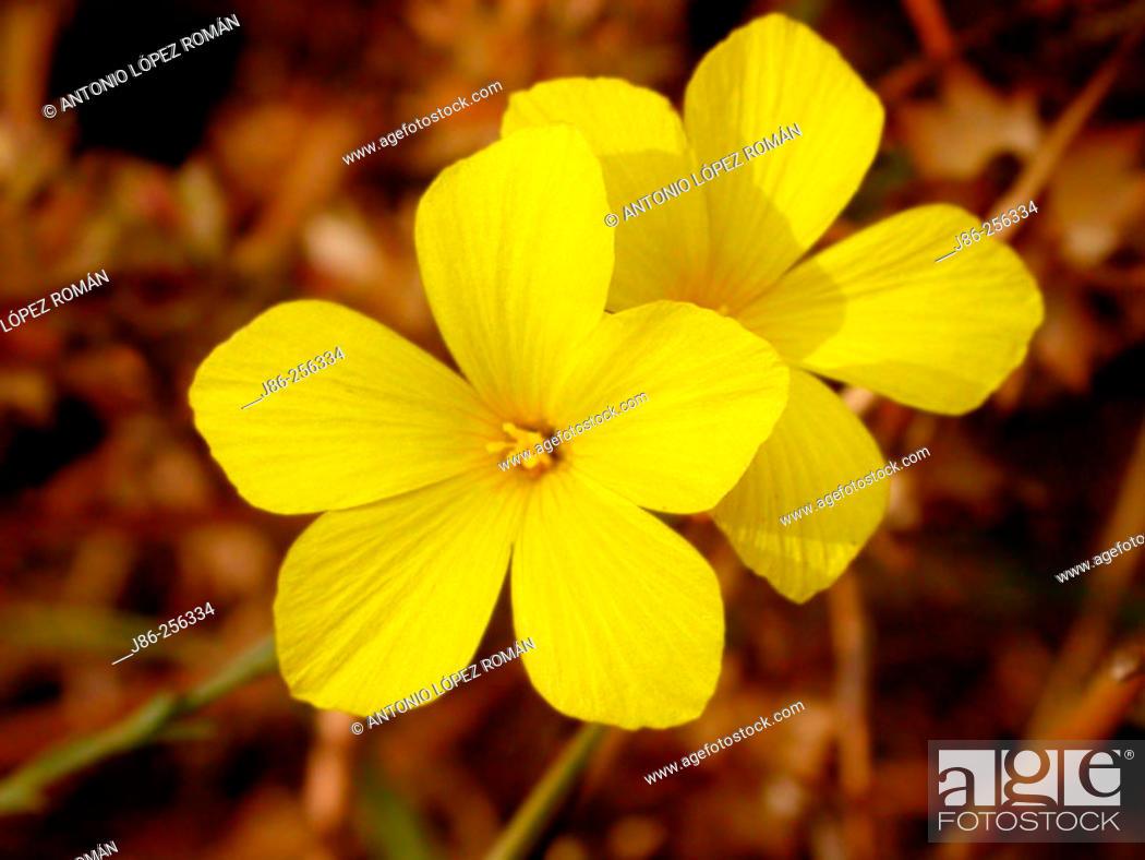 Stock Photo: Flax (Linum tenue).