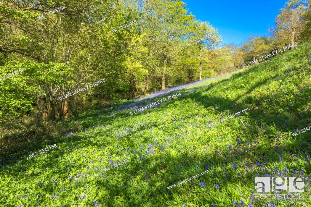 Stock Photo: Bluebells carpeting a wildflower meadow in the Herefordshire UK countryside. April 2020.
