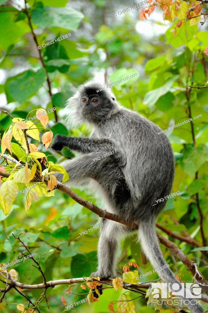Stock Photo: Silvered Leaf Monkey Silvery Lutung or Silvery Langur Bako National Park Sarawak Borneo Malaysia.