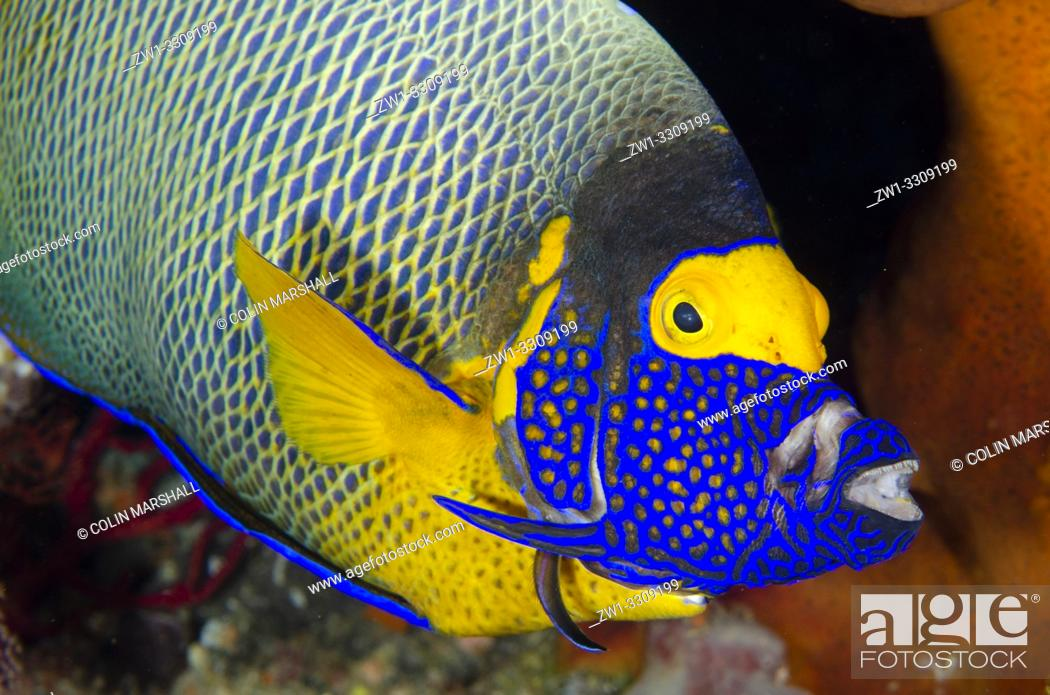 Stock Photo: Yellowmask Angelfish (Pomacanthus xanthometopon) extending jaws and gills while being cleaned by Bluestreak Cleaner Wrasse (Labroides dimidiatus).