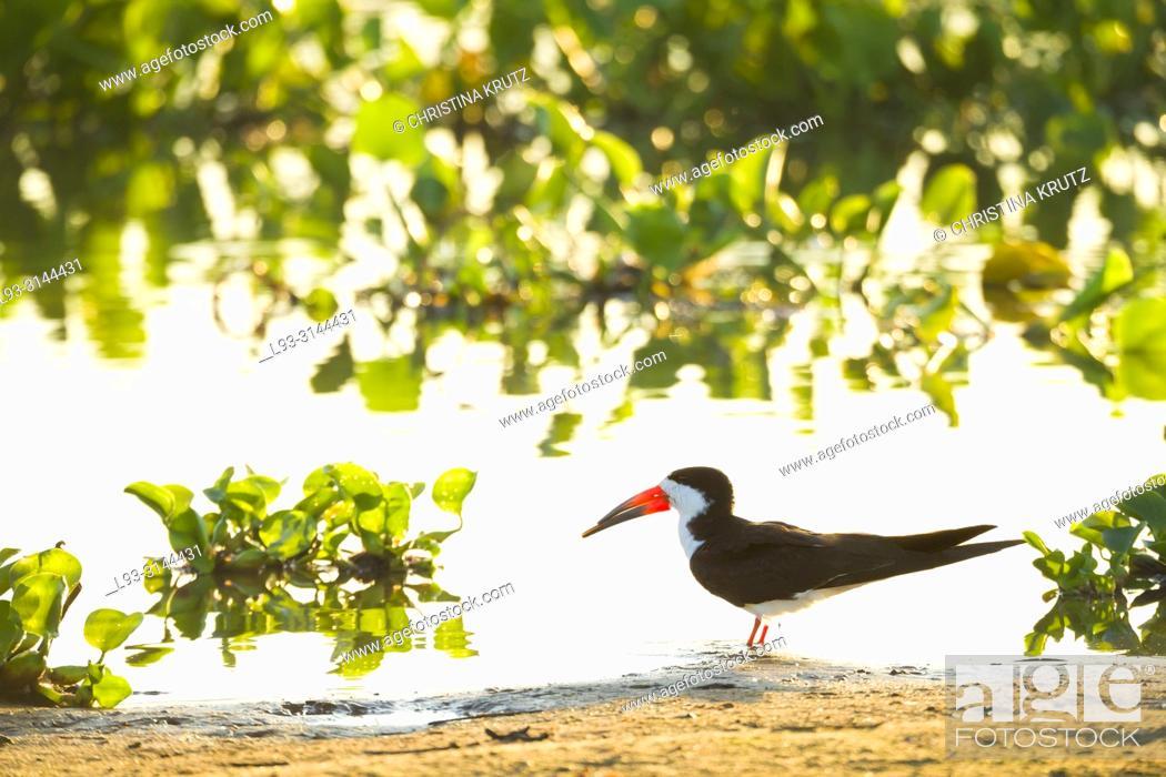 Stock Photo: Black Skimmer (Rynchops niger), Brazil, Mato Grosso, Pantanal.