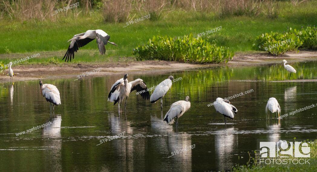 Stock Photo: Harris Neck National Wildlife Refuge Georgia Storks.