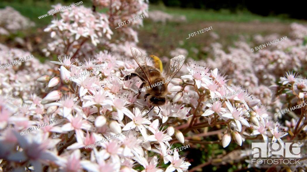 Stock Photo: Bee on apple blossom tree.