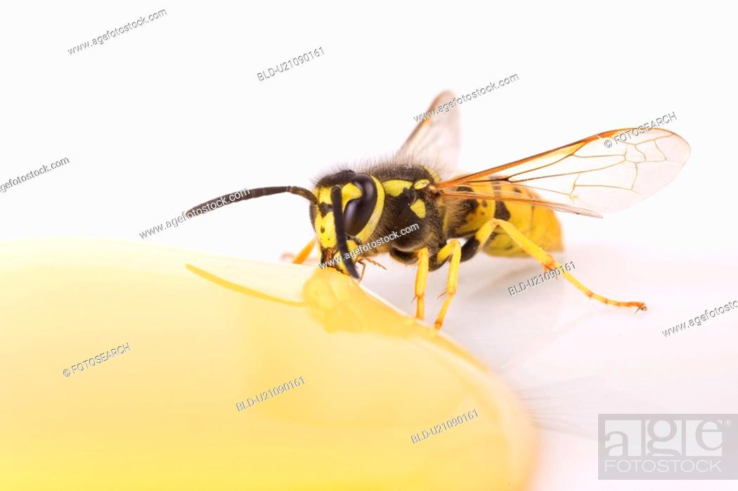 Stock Photo: candy, animal, bees, bee, animals, alfred.