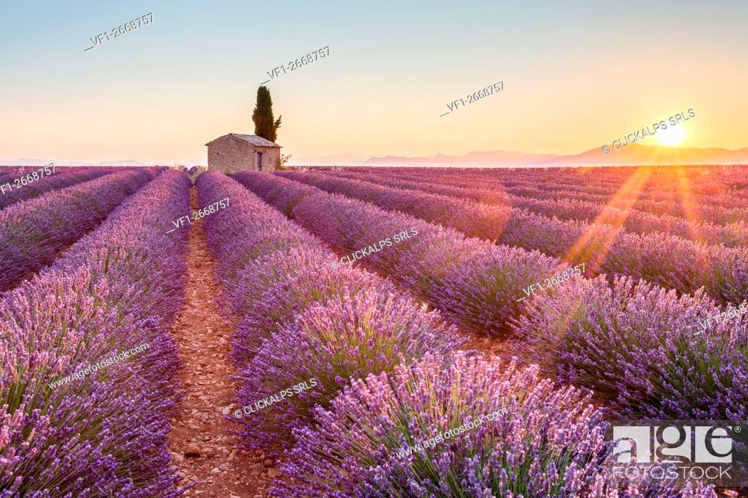 Stock Photo: Valensole Plateau, Provence, France. Sunrise in a lavender field in bloom with lonely rural house and cypress tree, sunburst.