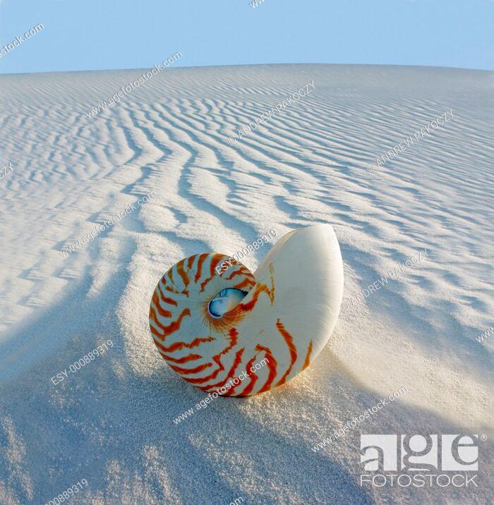 Stock Photo: Chambered Nautilus Nautilus pompilius on sand dune.