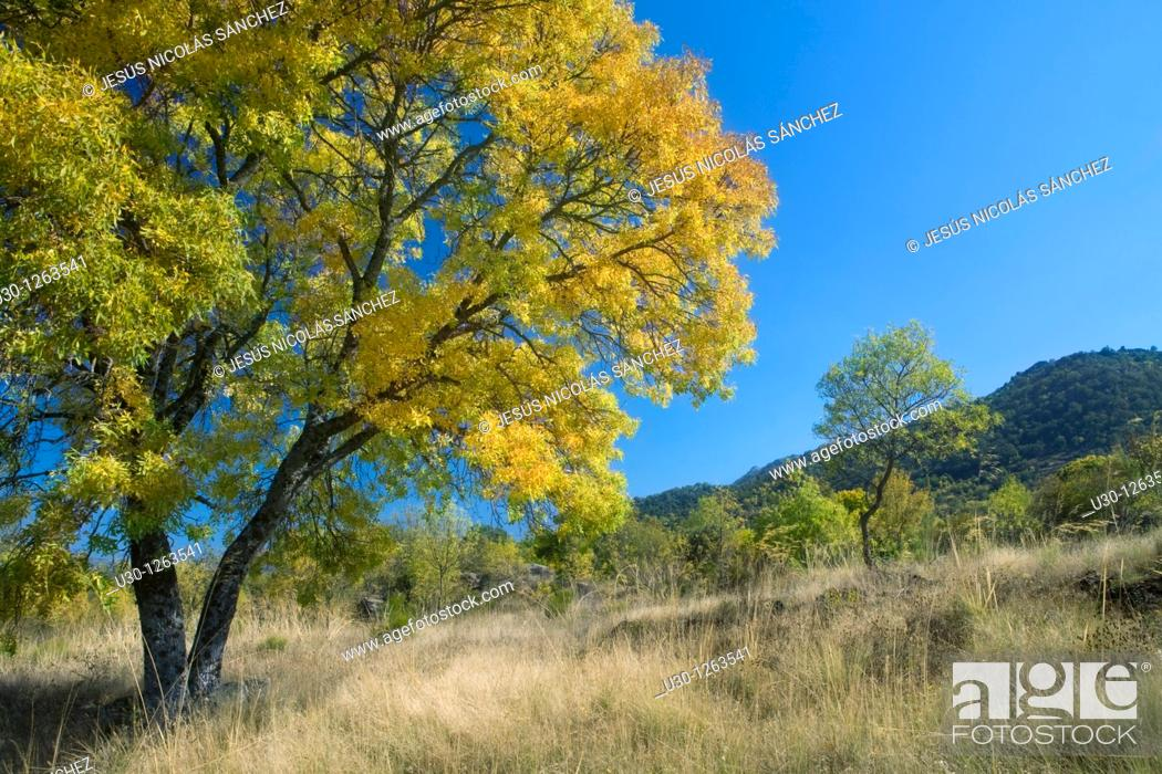 Stock Photo: Yellow ash Fraxinus excelsior in autumn, in Navalmoral, next to Sierra de Béjar in Salamanca province, Biosphere Reserve of Sierra de Béjar and Francia.