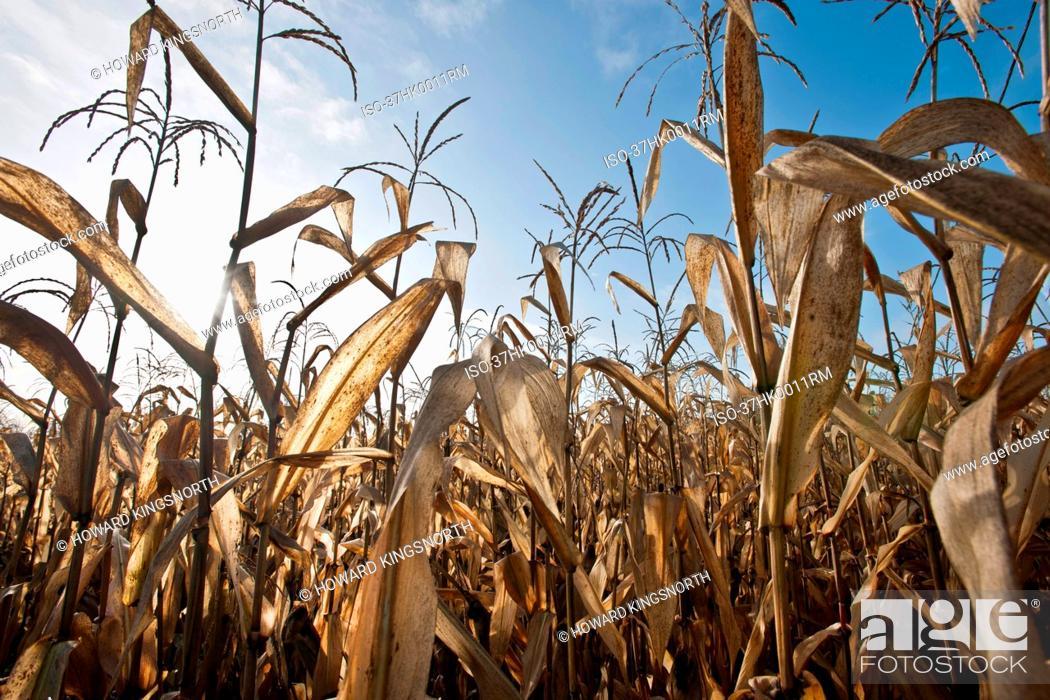 Stock Photo: Corn stalks in field against blue sky.
