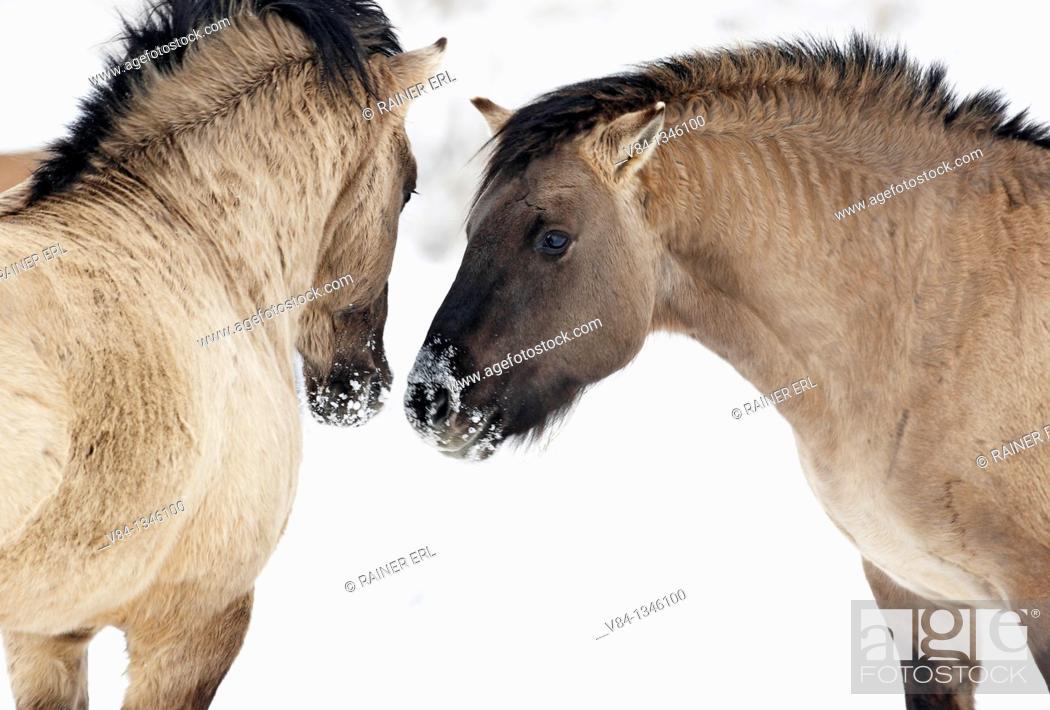 Stock Photo: Konik Horses.
