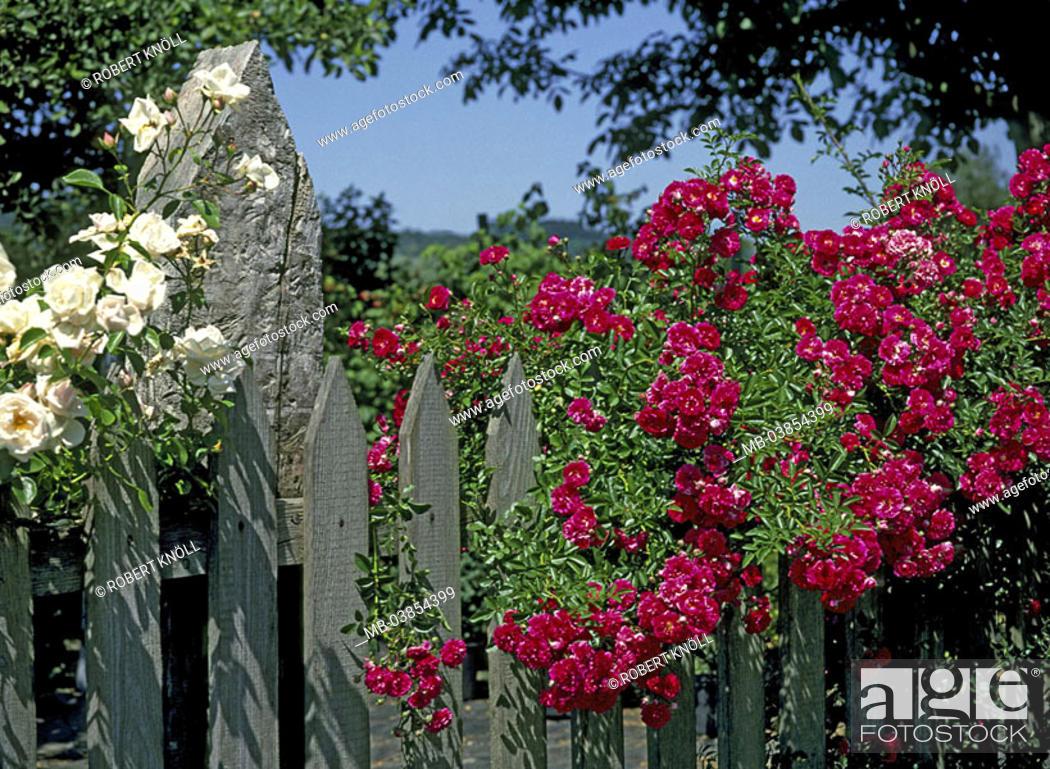 Stock Photo: Fence, flower bed, detail, rose-blooms, garden, fence, wood-fence, Bretterzaun, slat-fence, flower-garden, plants, flowers, roses, blooms.