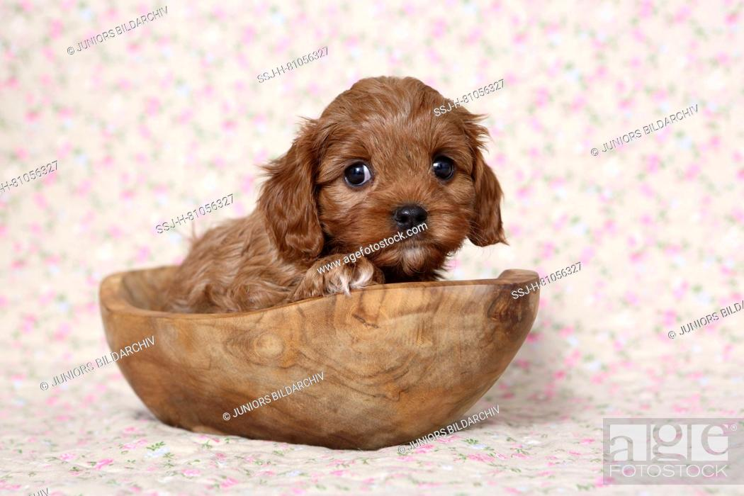 Cavapoo Poodle X Cavalier King Charles Spaniel Puppy In A Wooden Bowl Foto De Stock Imagen Derechos Protegidos Pic Ssj H 81056327 Agefotostock