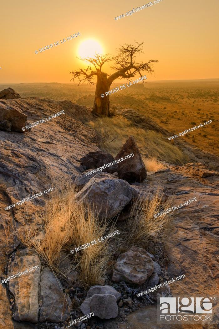Imagen: Stunted baobab, dead-rat tree (from the appearance of the fruits), monkey-bread tree upside-down tree or cream of tartar tree (Adansonia digitata).